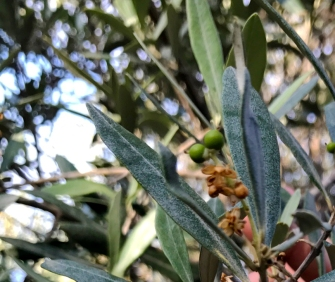 Baby olives!