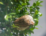 Napping House Sparrow fledgling